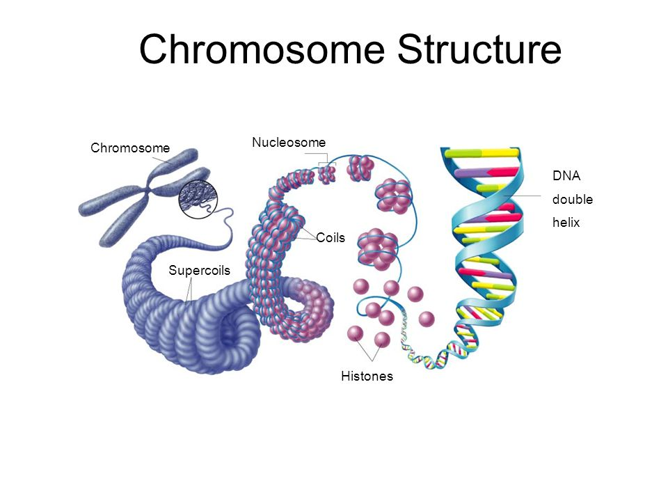 Chromosome Structure Section 12-2 Nucleosome Chromosome DNA double
