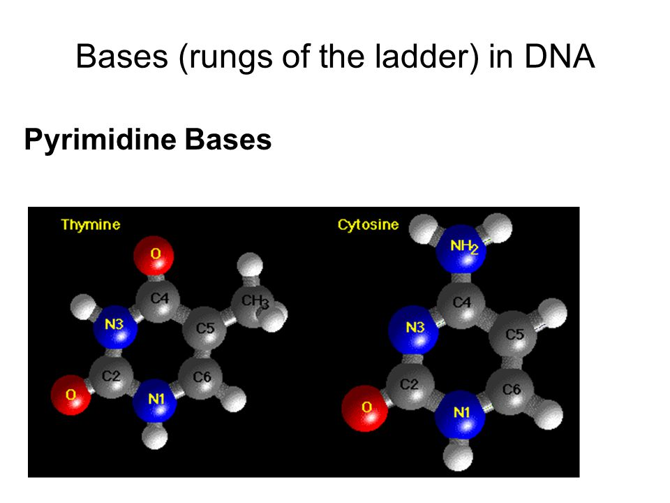 Bases (rungs of the ladder) in DNA
