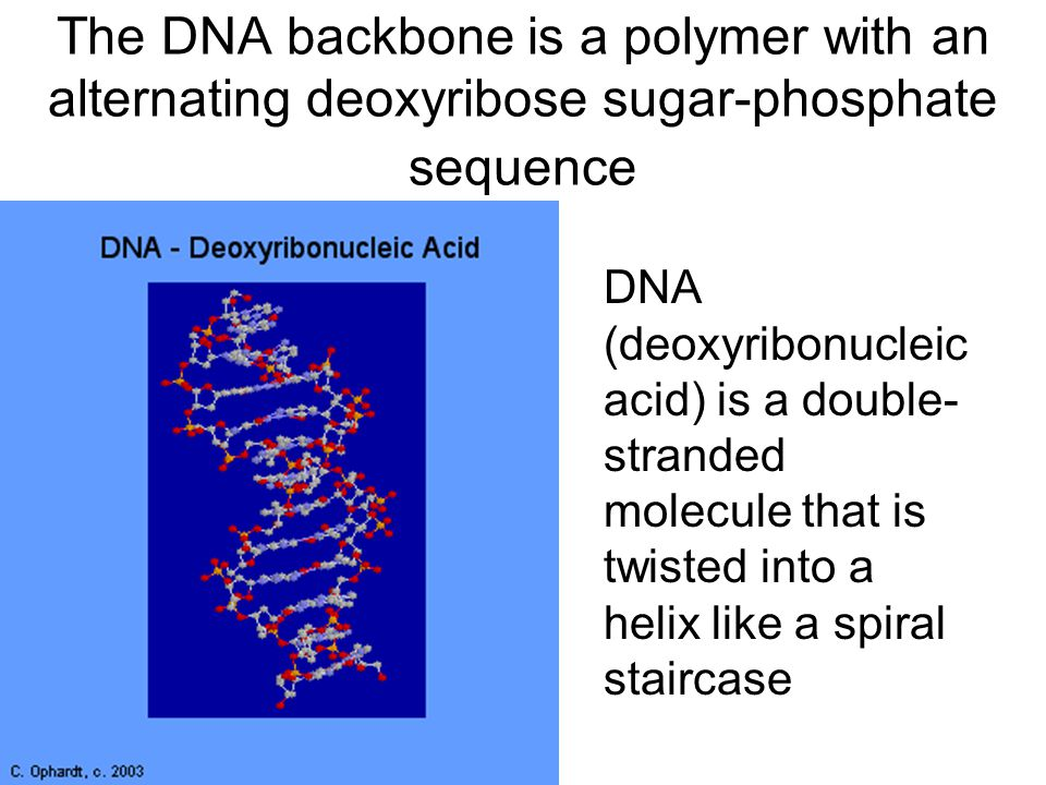 The DNA backbone is a polymer with an alternating deoxyribose sugar-phosphate sequence