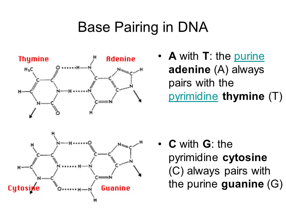 Base Pairing in DNA A with T: the purine adenine (A) always pairs with the pyrimidine thymine (T)
