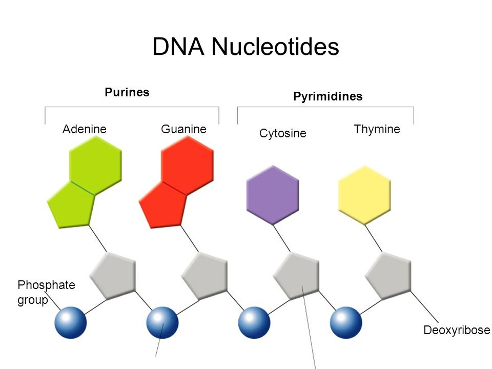 DNA Nucleotides Purines Pyrimidines Adenine Guanine Thymine Cytosine