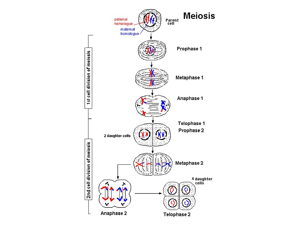 Outcome of meiosis is that each cell gets half the number of chromosomes (one chromosome of each pair)