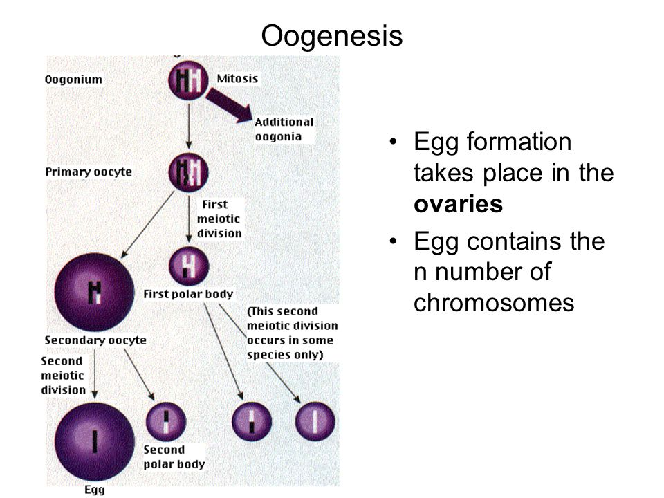 Oogenesis Egg formation takes place in the ovaries