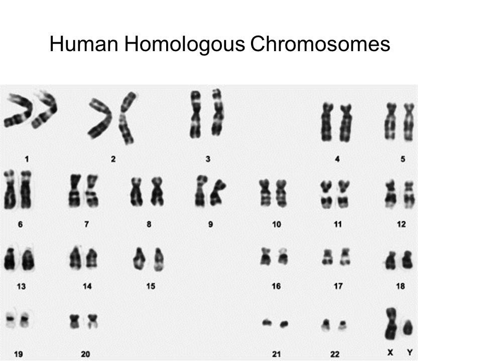 Human Homologous Chromosomes