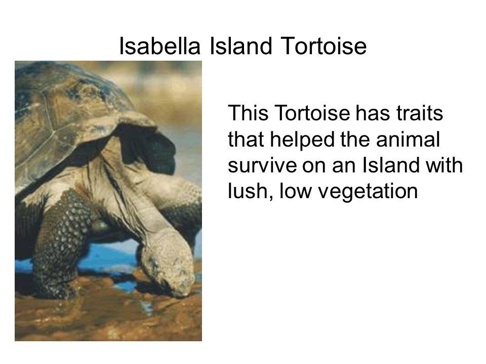 Isabella Island Tortoise