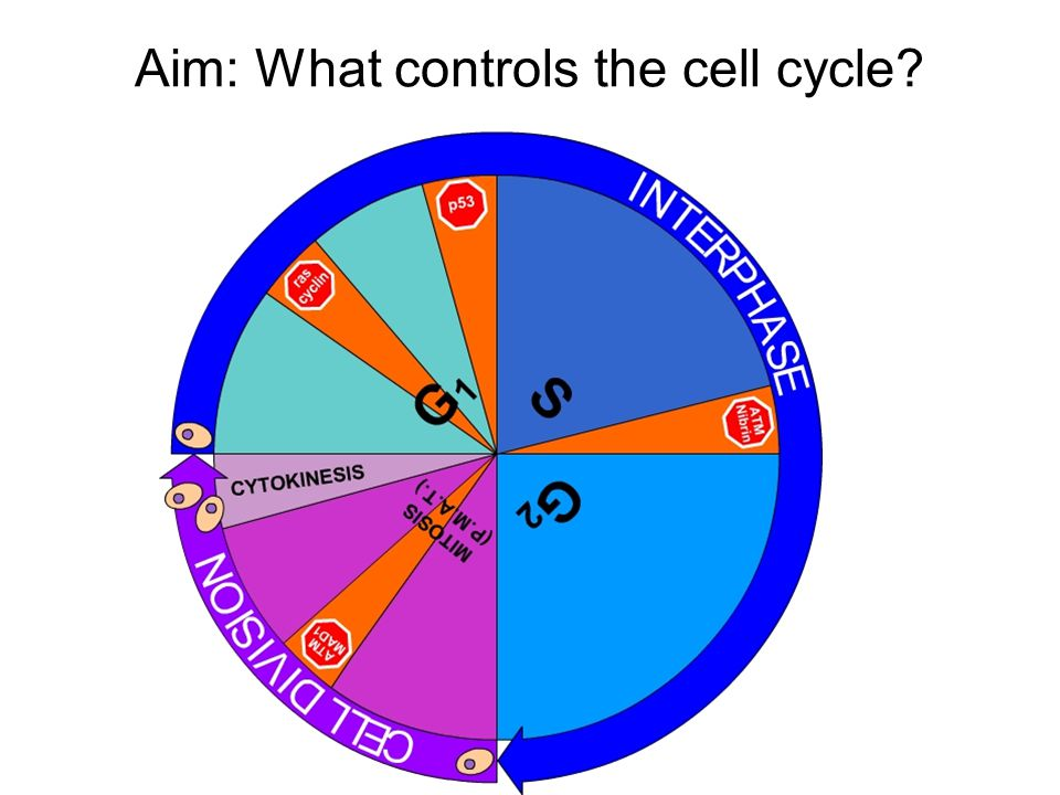 Aim: What controls the cell cycle