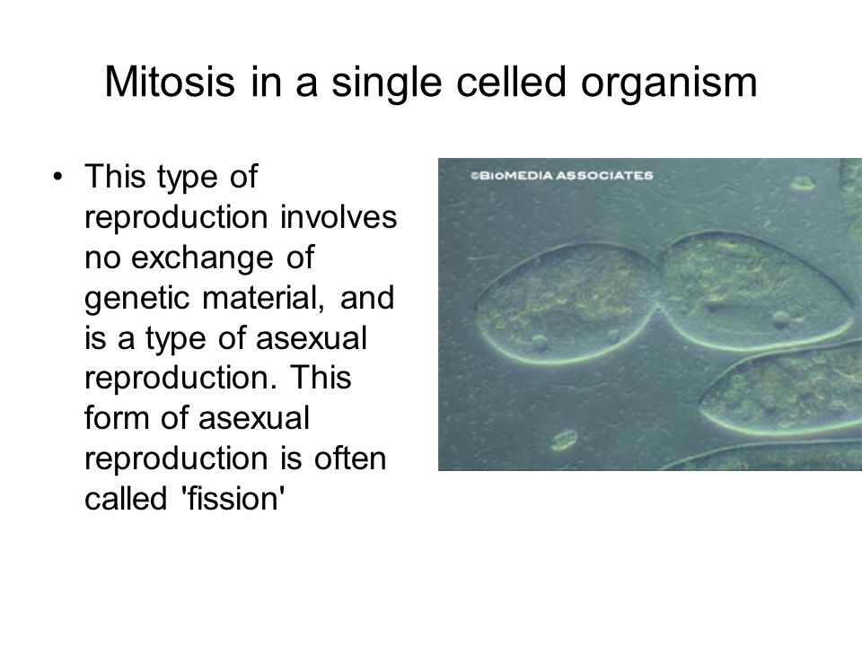 Mitosis in a single celled organism