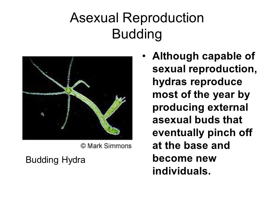 Asexual Reproduction Budding