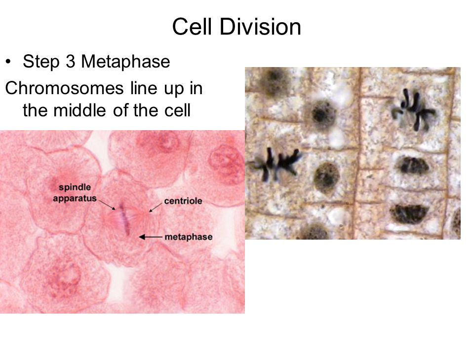 Cell Division Step 3 Metaphase