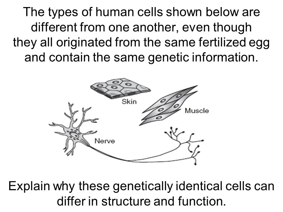 The types of human cells shown below are different from one another, even though they all originated from the same fertilized egg and contain the same genetic information.