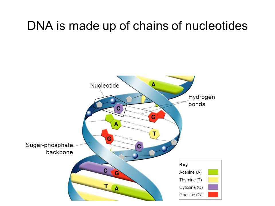 DNA is made up of chains of nucleotides