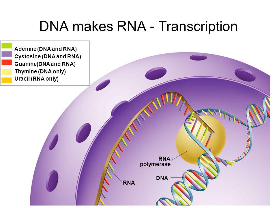 DNA makes RNA - Transcription