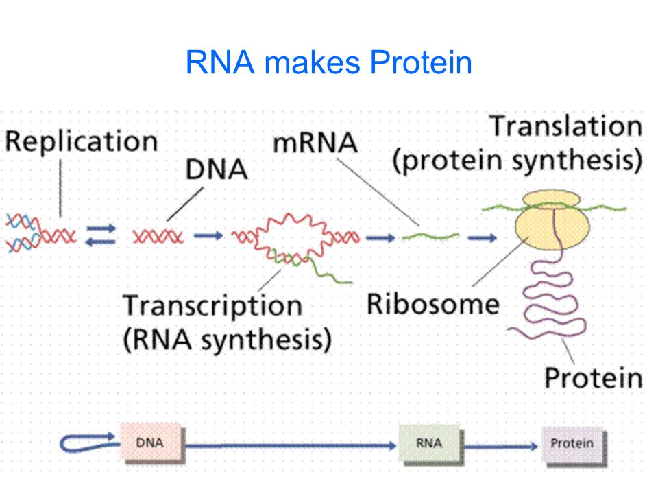 RNA makes Protein Questions to ponder: