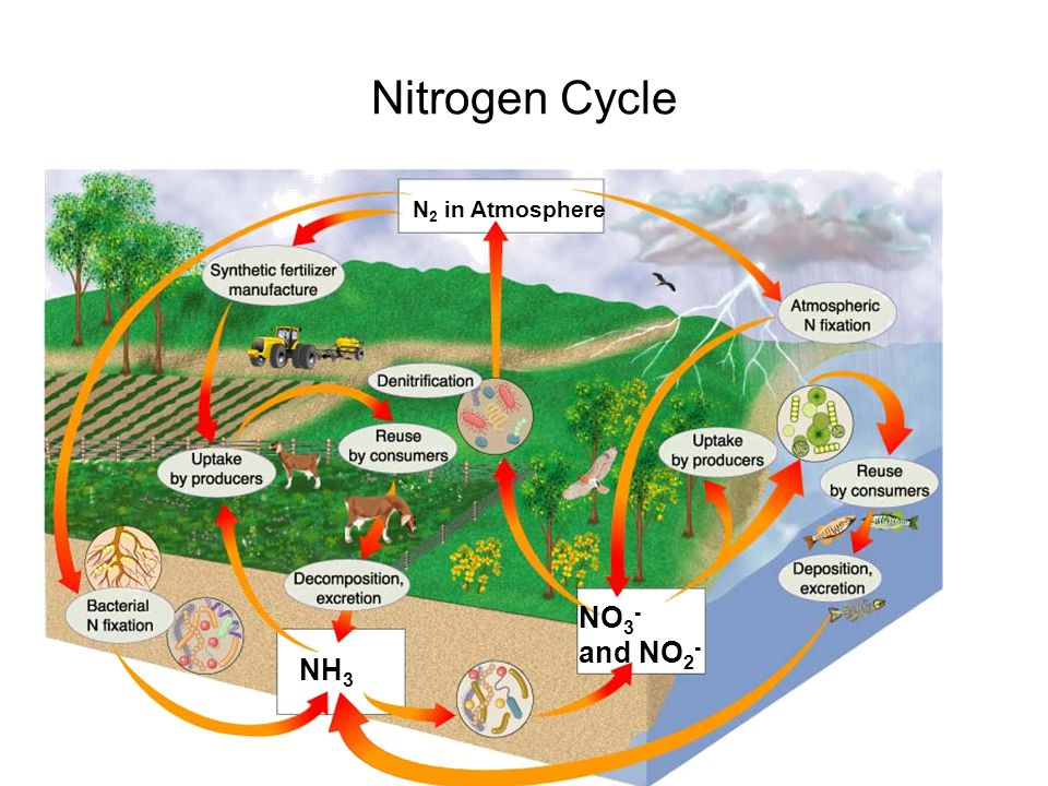 Nitrogen Cycle The Nitrogen Cycle NO3- and NO2- NH3 N2 in Atmosphere