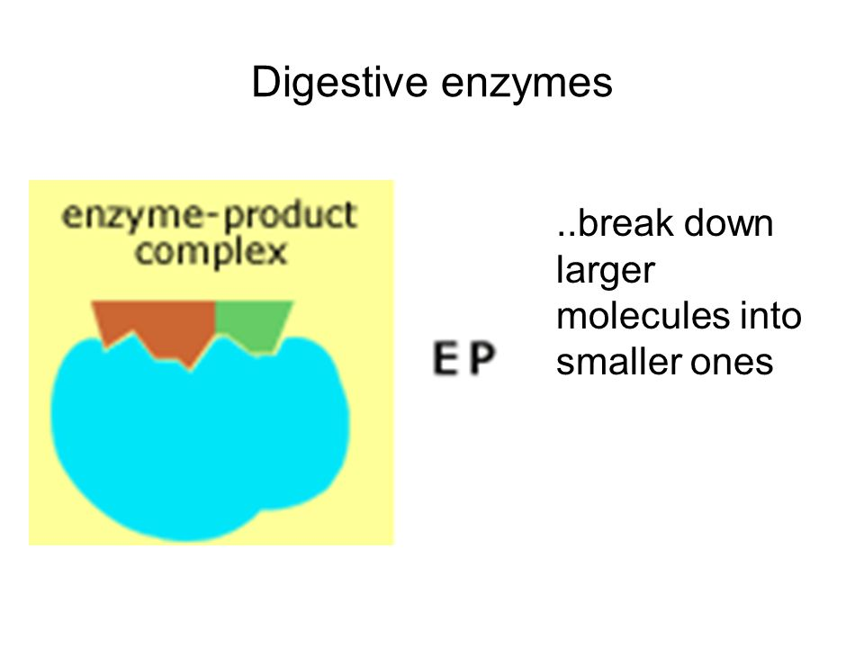 Digestive enzymes ..break down larger molecules into smaller ones