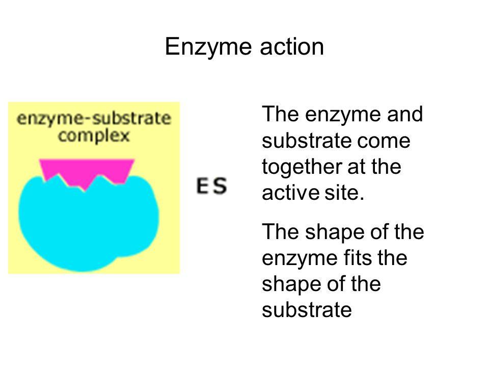 Enzyme action The enzyme and substrate come together at the active site.