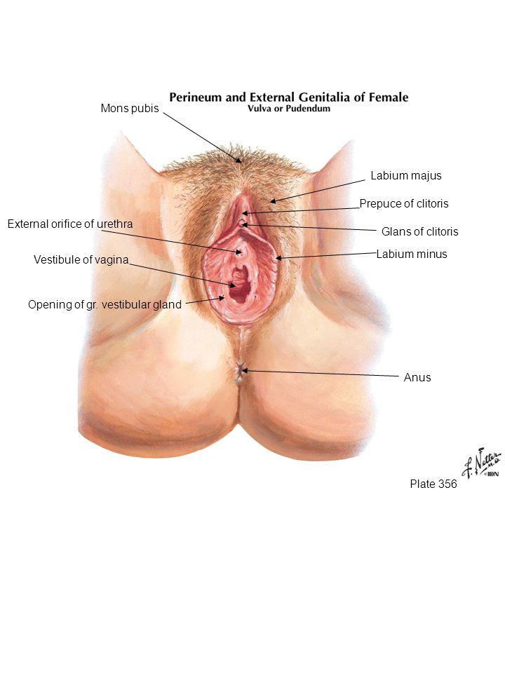 Mons pubis Labium majus. Prepuce of clitoris. External orifice of urethra. Glans of clitoris. Labium minus.