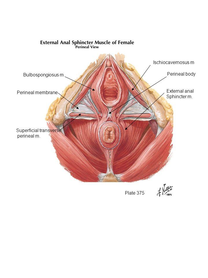 Ischiocavernosus m Bulbospongiosus m. Perineal body. Perineal membrane. External anal. Sphincter m.