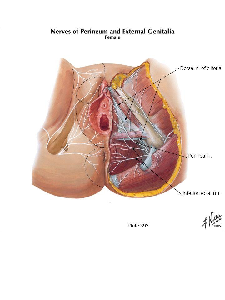 Dorsal n. of clitoris