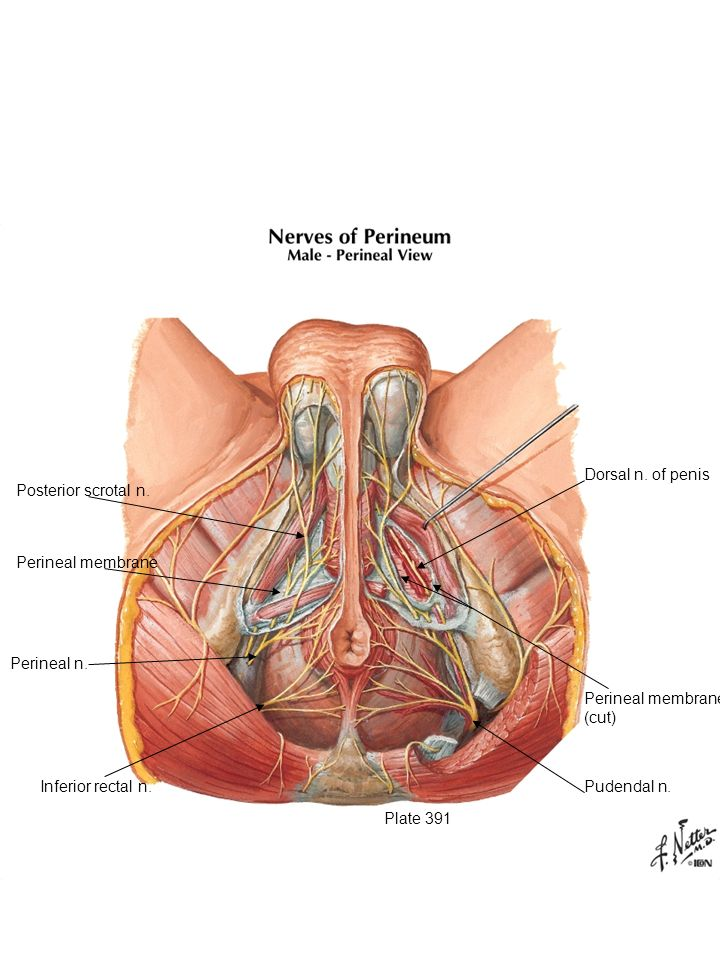 Pudendal nerve approaches UG triangle. It has three branches