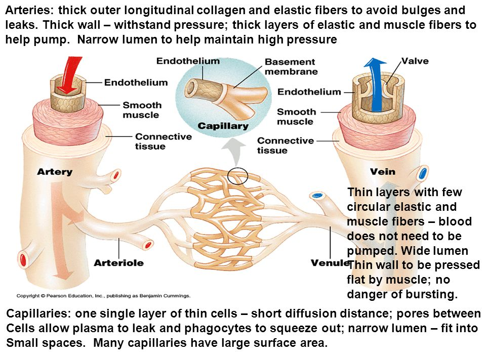 Arteries: thick outer longitudinal collagen and elastic fibers to avoid bulges and