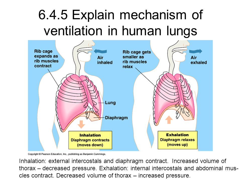 6.4.5 Explain mechanism of ventilation in human lungs