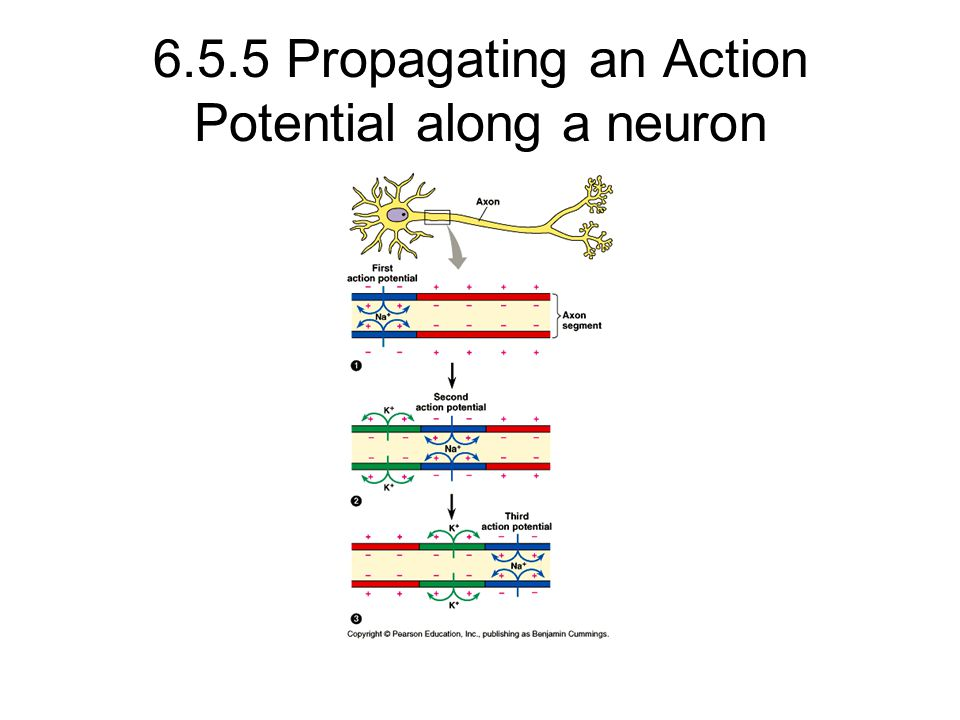 6.5.5 Propagating an Action Potential along a neuron