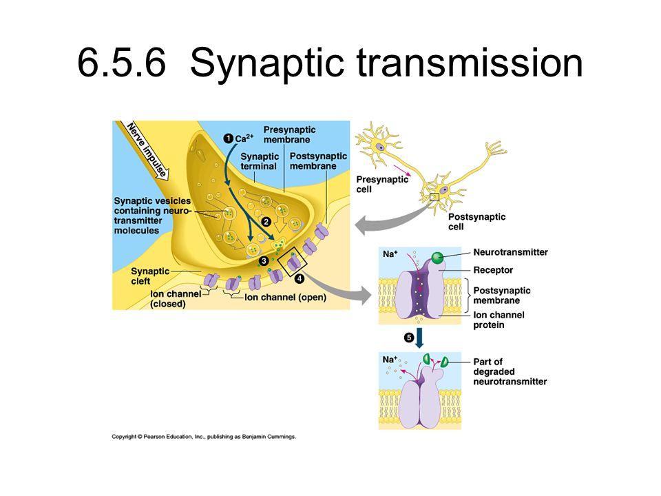 6.5.6 Synaptic transmission