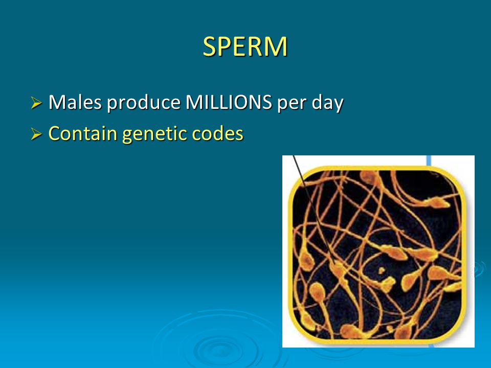 SPERM Males produce MILLIONS per day Contain genetic codes