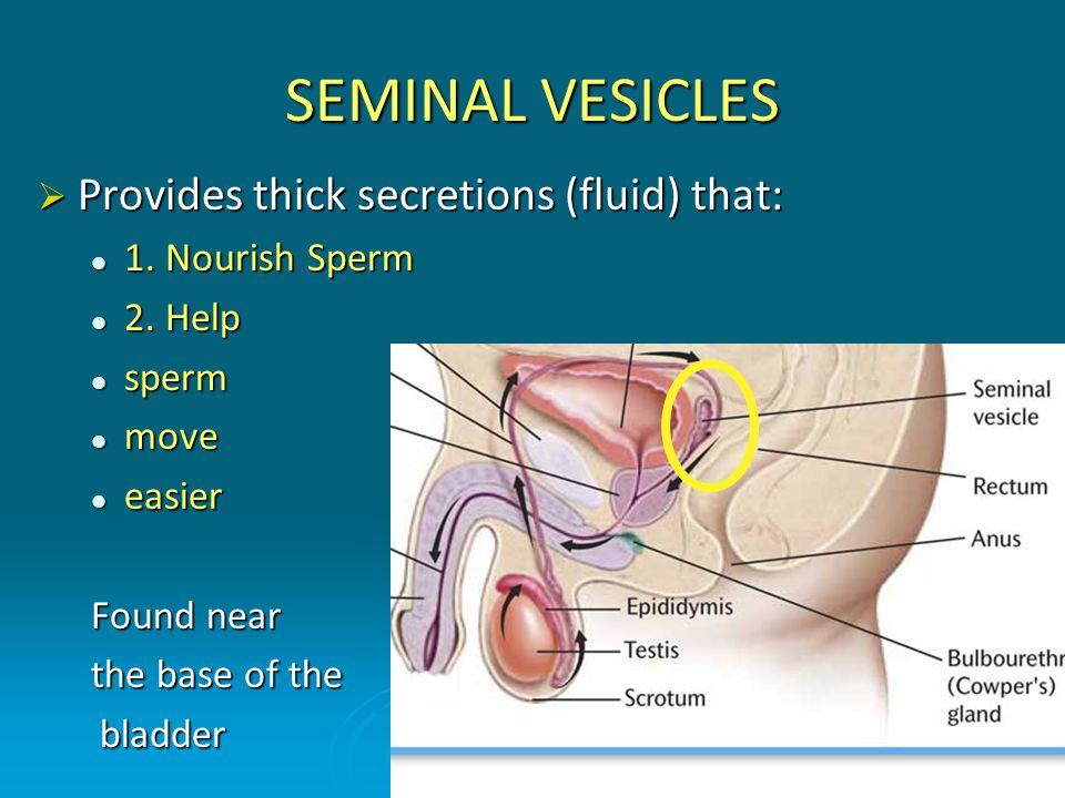 SEMINAL VESICLES Provides thick secretions (fluid) that: