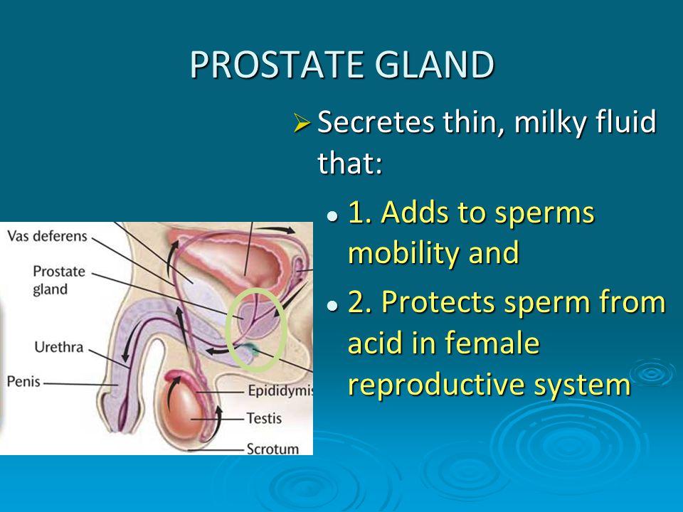 PROSTATE GLAND Secretes thin, milky fluid that: