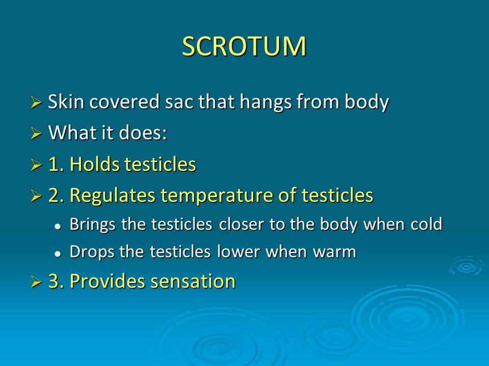 SCROTUM Skin covered sac that hangs from body What it does: