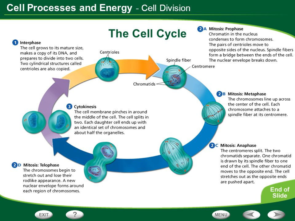 - Cell Division The Cell Cycle