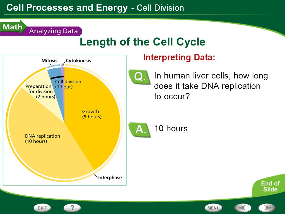 Length of the Cell Cycle