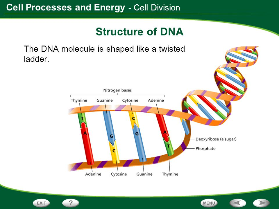 Structure of DNA - Cell Division