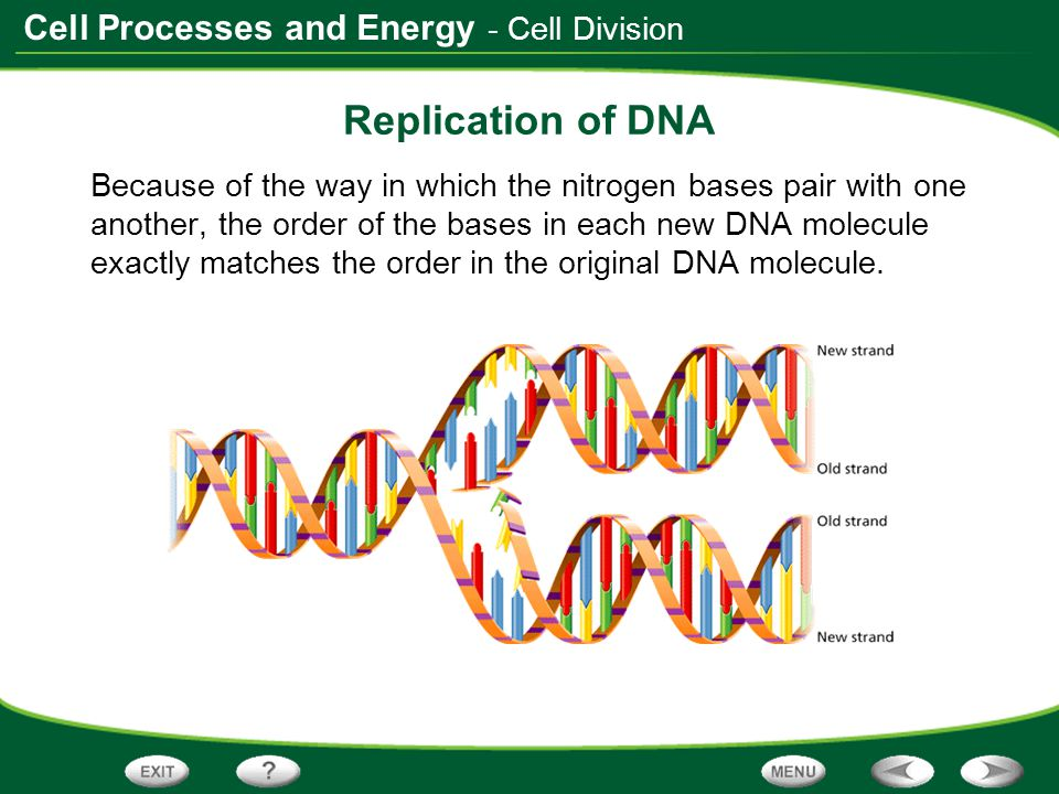Replication of DNA - Cell Division