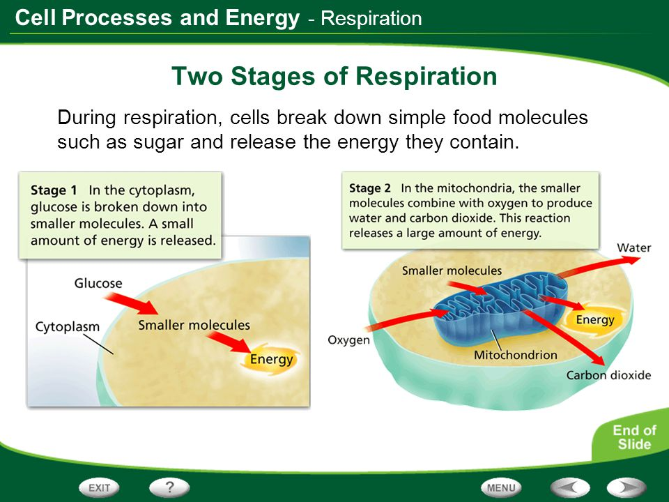 Two Stages of Respiration