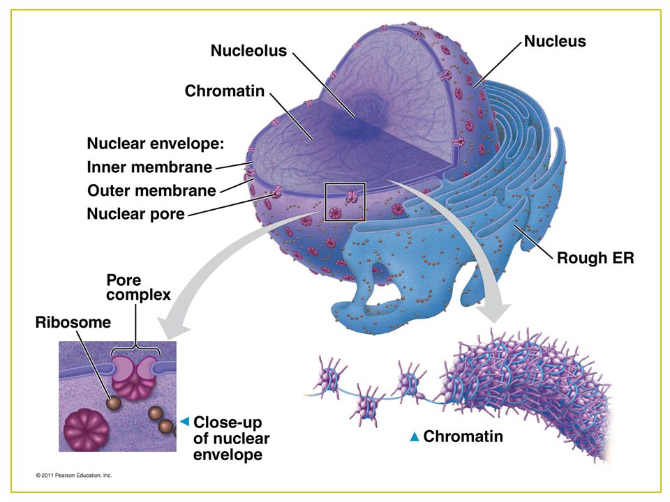 *What else do you see in this picture of the nucleus that wasn't discussed in the others RER and ribosomes