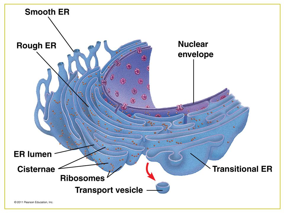 After secretory proteins are formed, ER keeps them separate by moving them to the transitional ER.
