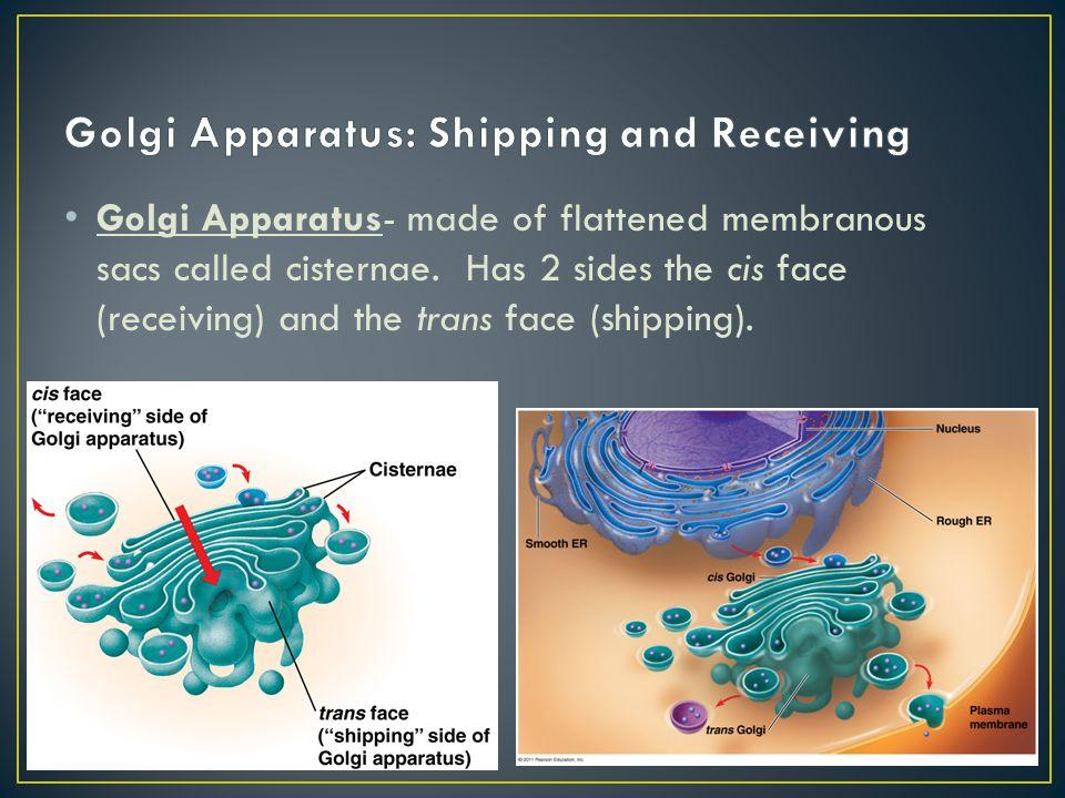 Golgi Apparatus: Shipping and Receiving
