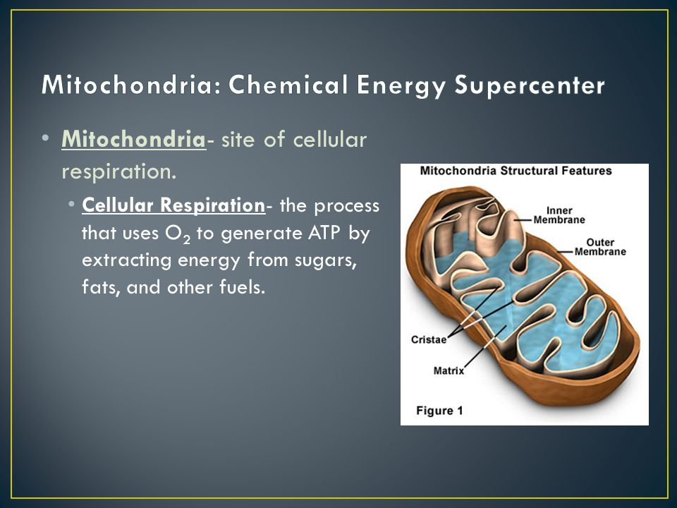 Mitochondria: Chemical Energy Supercenter