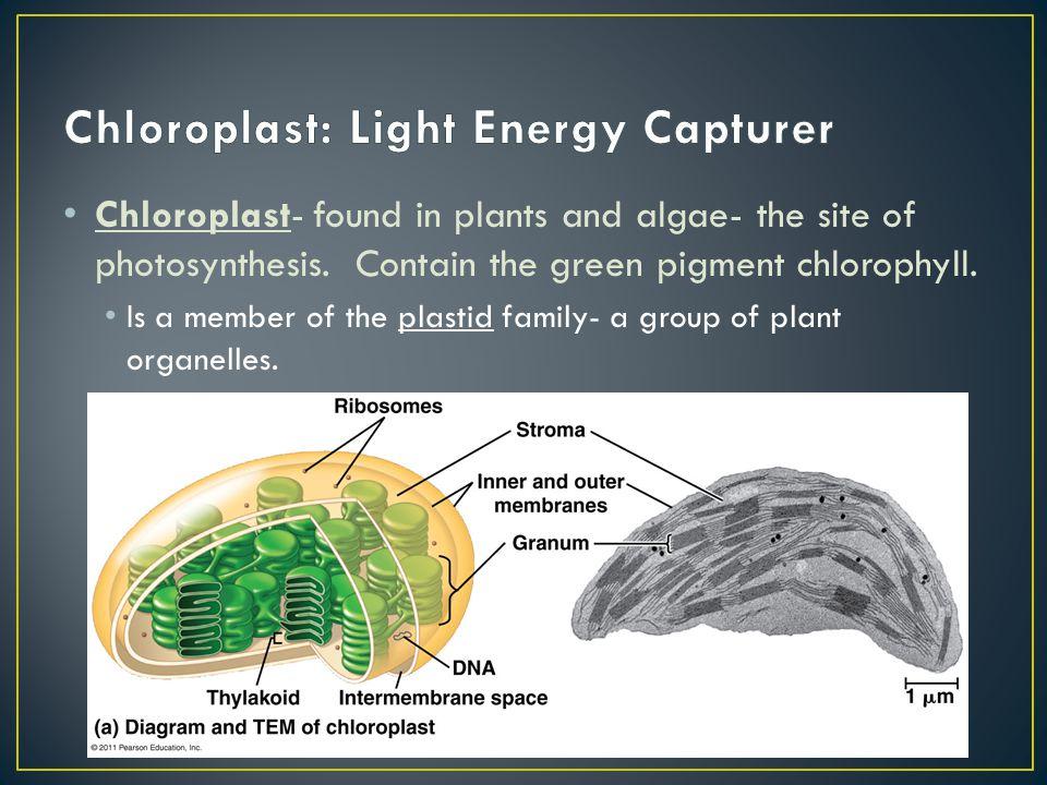 Chloroplast: Light Energy Capturer