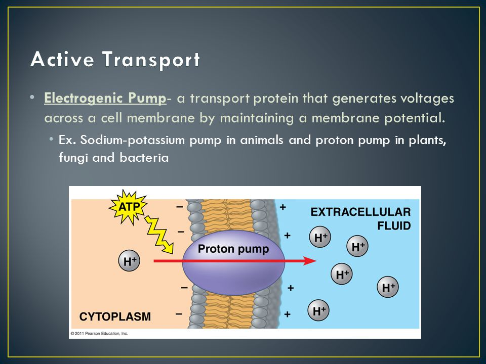 Active Transport Electrogenic Pump- a transport protein that generates voltages across a cell membrane by maintaining a membrane potential.