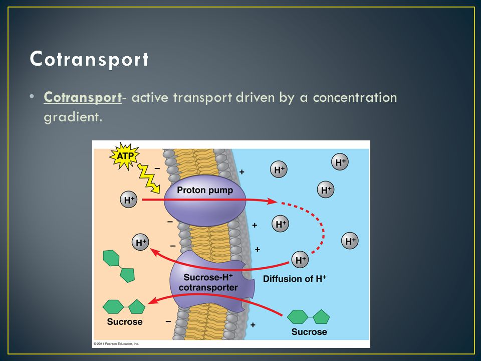 Cotransport Cotransport- active transport driven by a concentration gradient.