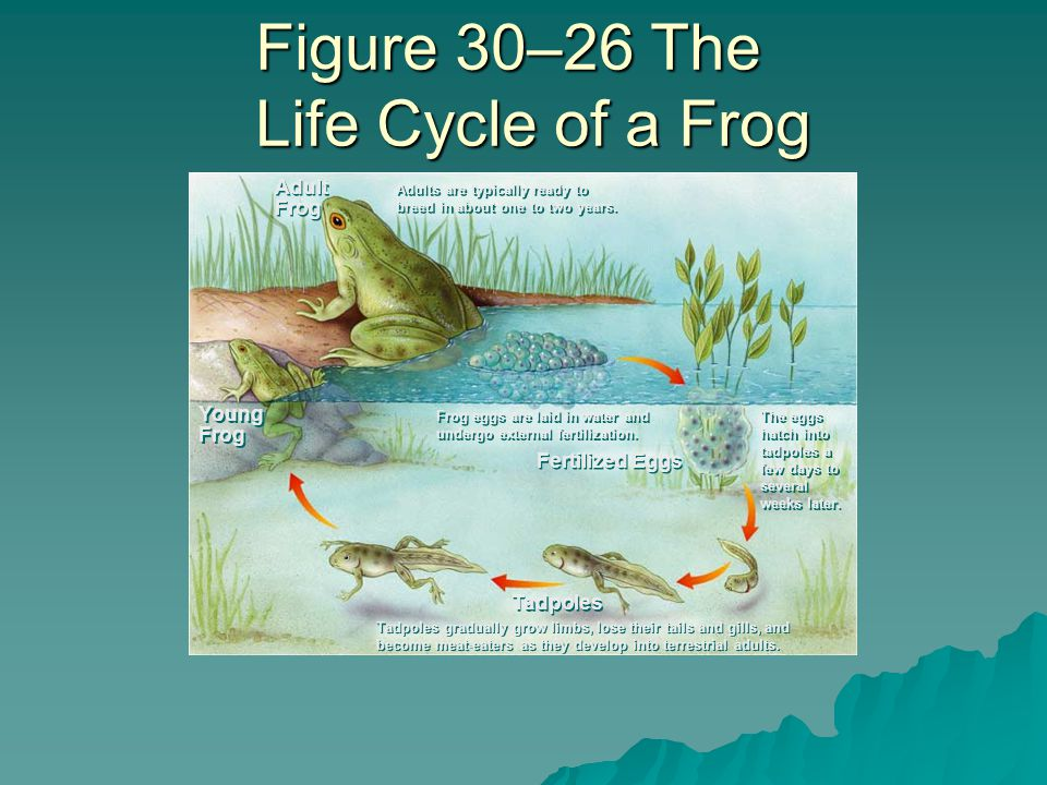 Figure 30–26 The Life Cycle of a Frog