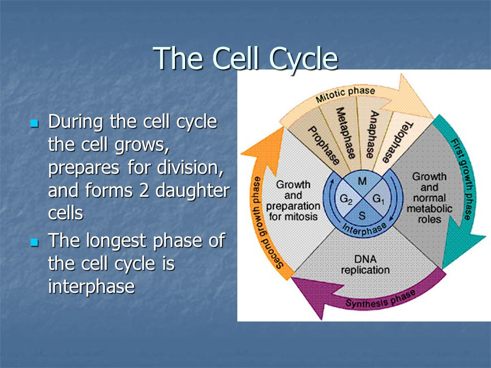 The Cell Cycle During the cell cycle the cell grows, prepares for division, and forms 2 daughter cells.