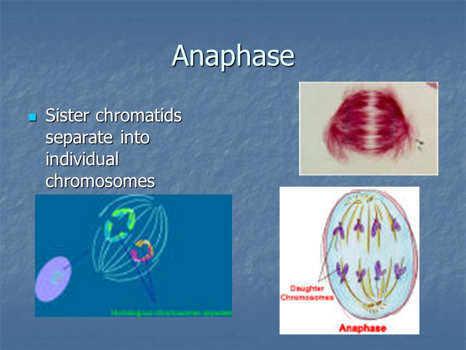Anaphase Sister chromatids separate into individual chromosomes