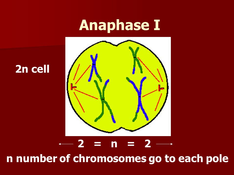Anaphase I 2n cell 2 = n = 2 n number of chromosomes go to each pole