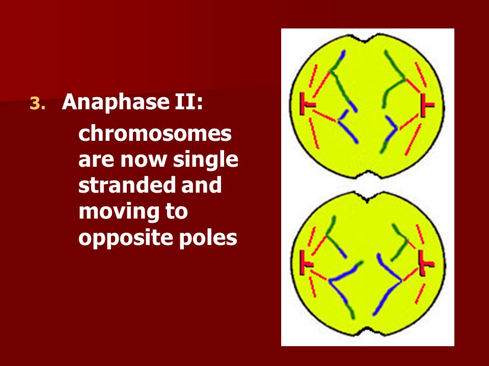 Anaphase II: chromosomes are now single stranded and moving to opposite poles