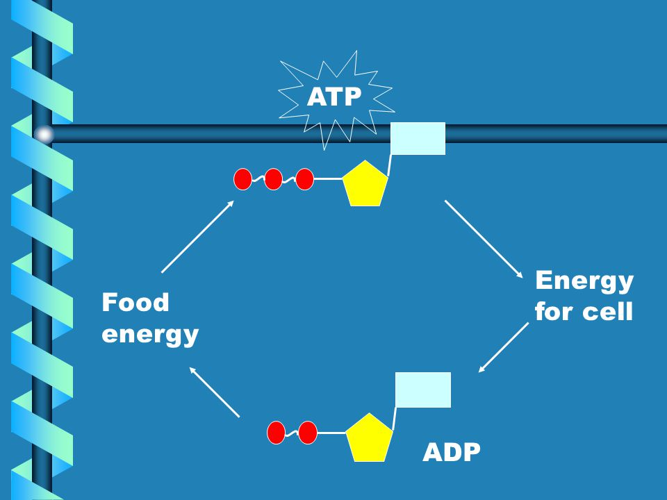 ATP Energy for cell Food energy ADP